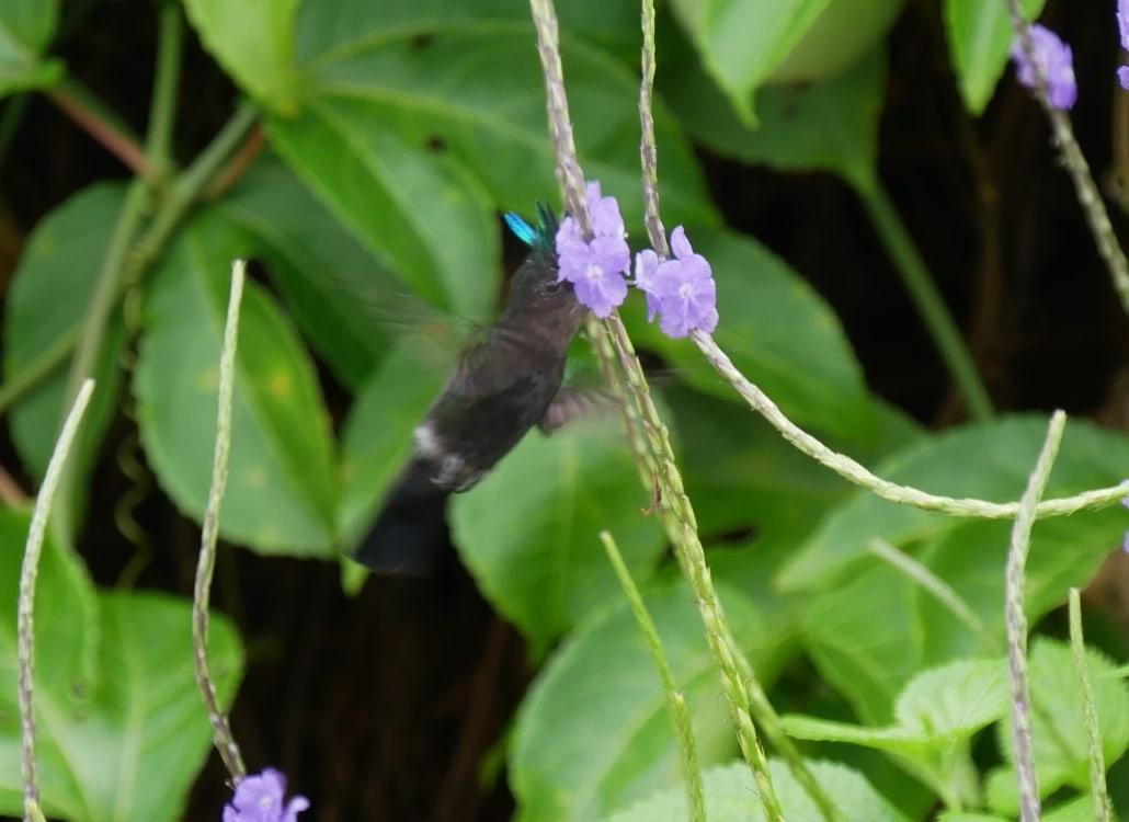 schneller-kolibri