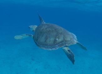 unterwasserschildkröte_schnorcheln_tobago_cays