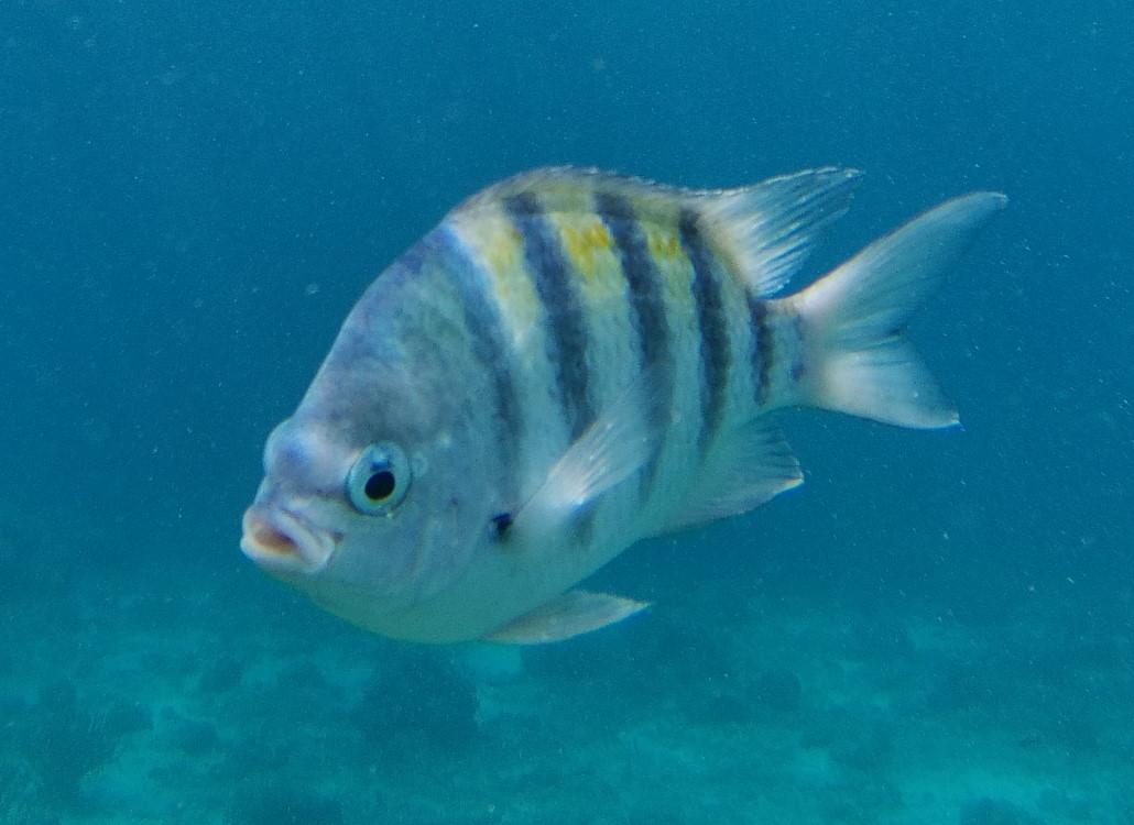 gestreifter-fisch
